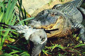 Крокодил Дарси или охота на севере Австралии