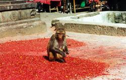 В обезьяньем храме Сваямбуднатх