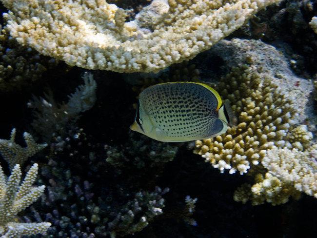 Пятнистая рыба-бабочка (Chaetodon guttatissimus)