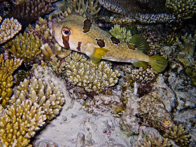 Крупнопятнистая рыба-еж( Diodon liturosus) во время ночного снорка