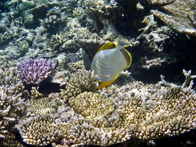Желтоголовая рыба-бабочка (Chaetodon xanthocephalus)