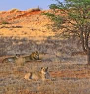 Пустынные львы в Калахари