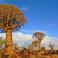 Знаменитые Quiver trees (семейство алое)