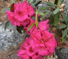 Рододендроны в скалах Гималаев.