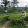 Чайная плантация Канди.