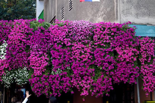 Цветник в Скадарлии