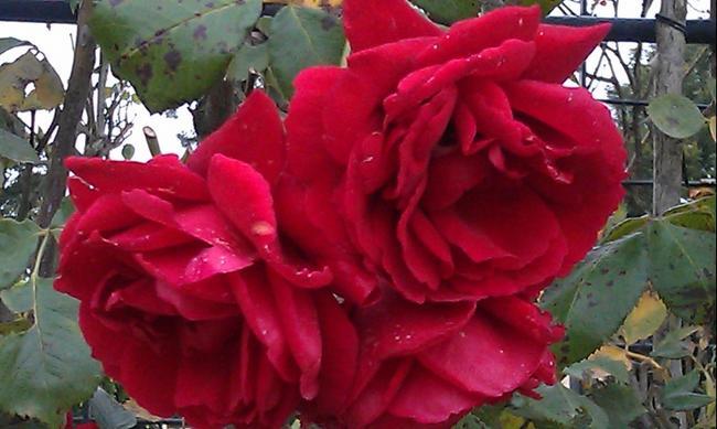 Вена. Кустарник роз в Шёнбрунне.