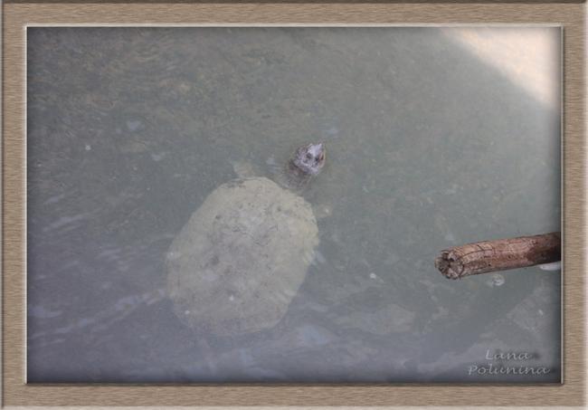 Черепаха в серном источнике :-)