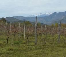 Виноградники в Хванчкаре