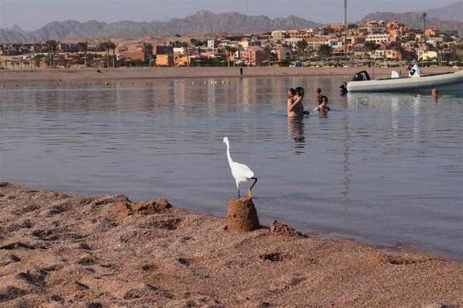 Тоже житель отеля Barcelo Tiran Sharm