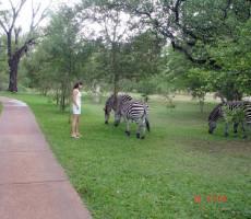 зебры на территории отеля
