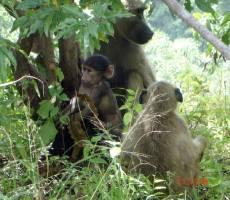 Замбия. природа. бабуины