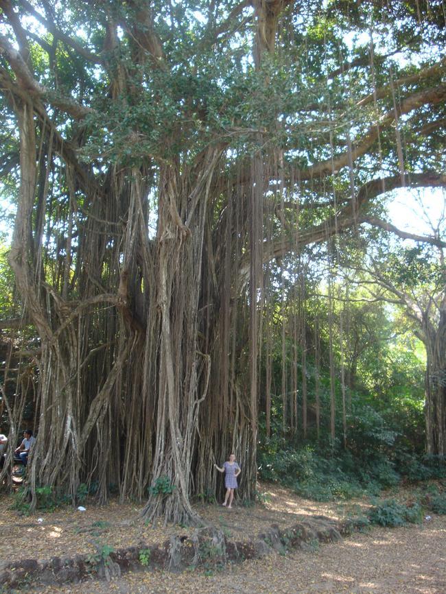 Священное дерево баньян