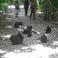 чёрные хохлатые макаки