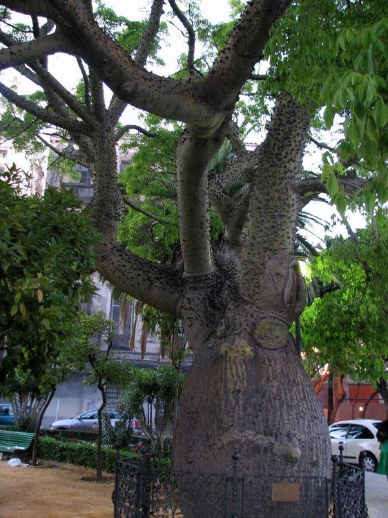 Бутылочное дерево на Plaza de la Marina