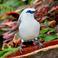 Тенерифская птичка