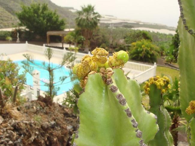 Плоды кактуса