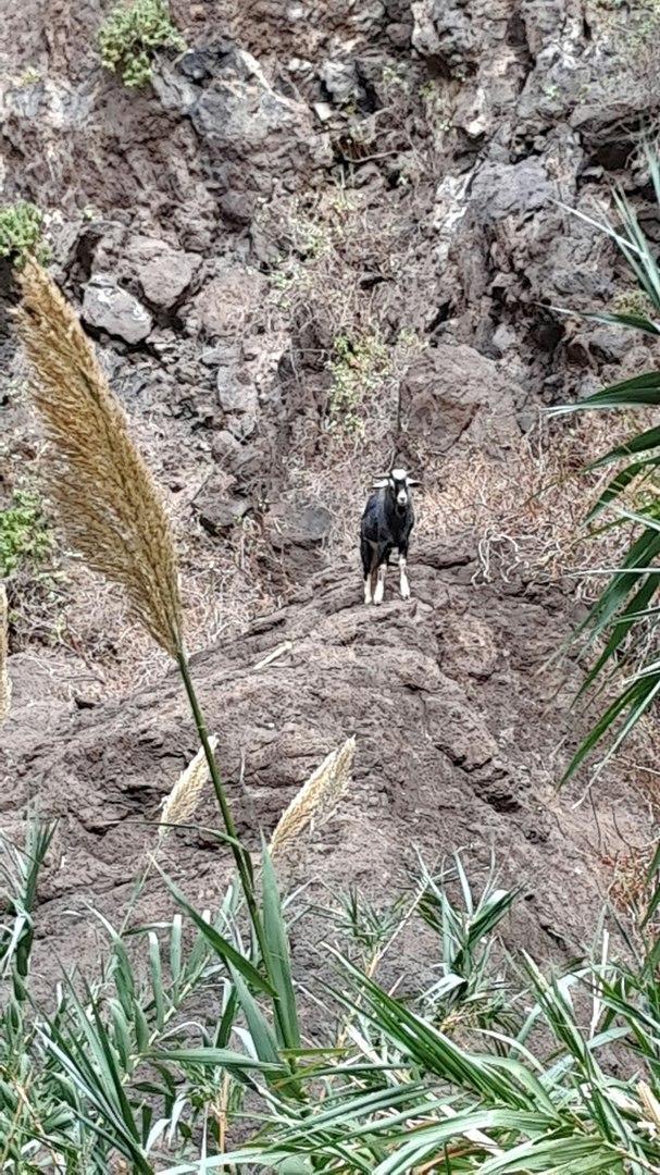горная коза