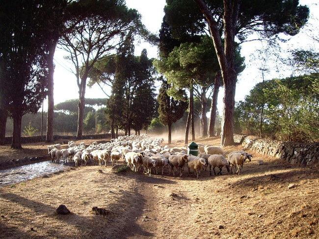 дорога и овцы