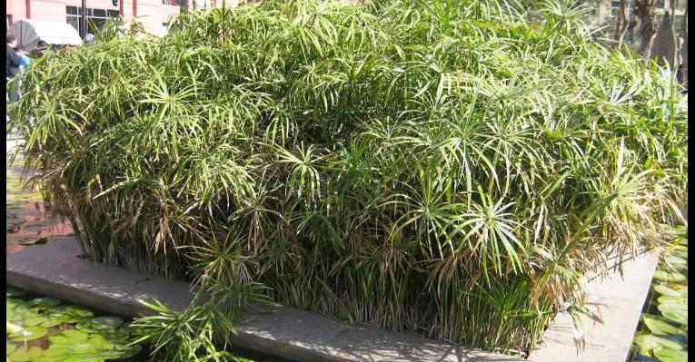 Пруд с лилиями и бамбуком