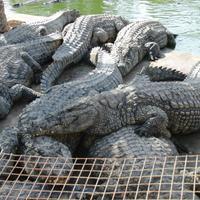 Крокодиловая ферма в Мидуне