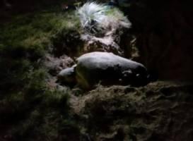 Mon Repos Turtle Express