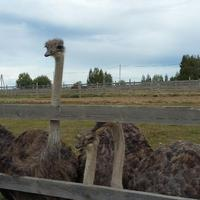 Экоферма Изборский страус