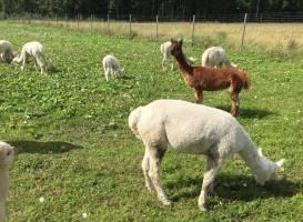 Alpacafarm