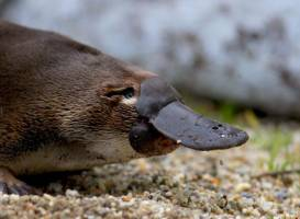 The Platypus Experience