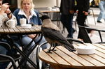 Германия: гостей Берлина просят остерегаться воронов