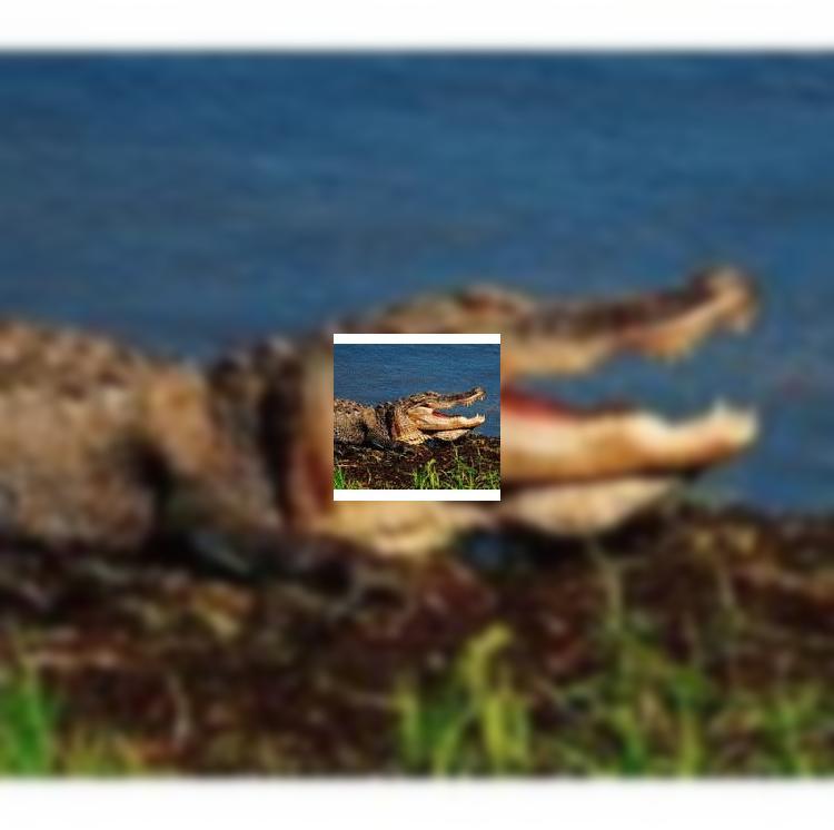 Власти Австралии планируют разрешить охоту на крокодилов