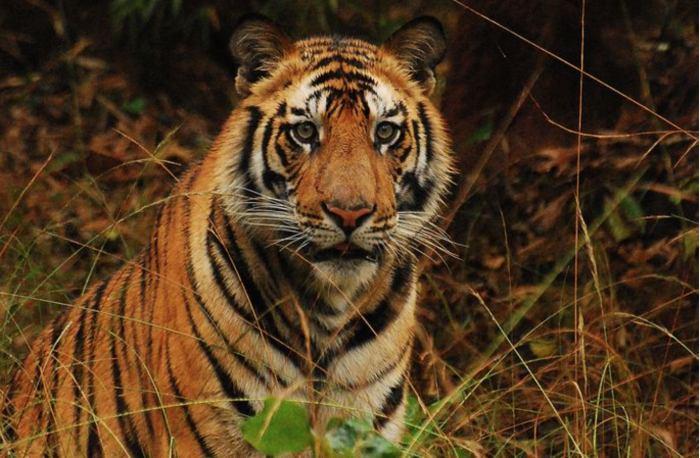 Сафари на тигров в Индии. Начало сезона