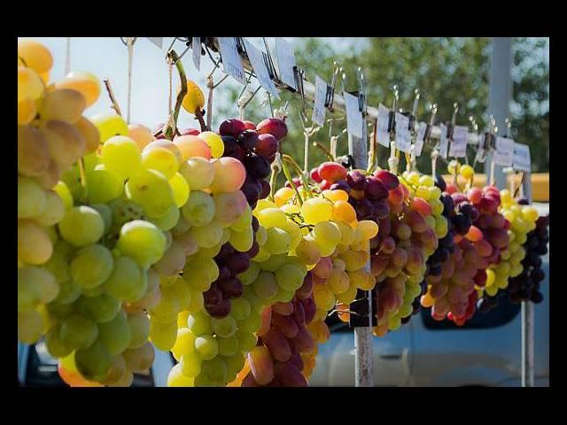 На «Донской лозе» будут катать бочки и пить местное вино, Туристам Коломны, фестиваль где отдохнуть автобус