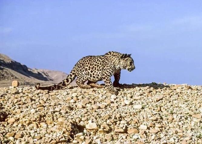 Саудовская Аравия выделит 20 млн долларов, чтобы сохранить южноаравийского леопадрда, Туристам Коломны, Россия Отдых Китай
