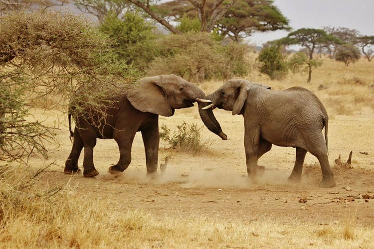 Слоны, Танзания