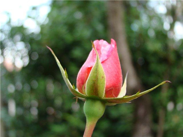 И розы тоже готовы распуститься...