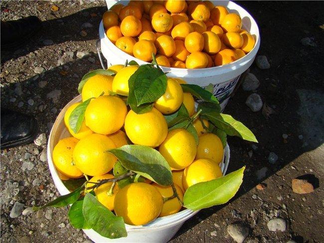 Продажа мандаринов и лимонов на трассе