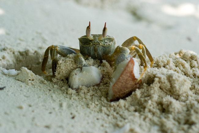 Песчаный краб-призрак-2