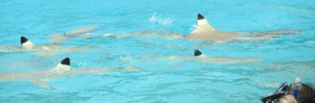 Рифовые акулы в лагуне о. Муреа