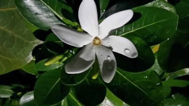 цветок тиаре