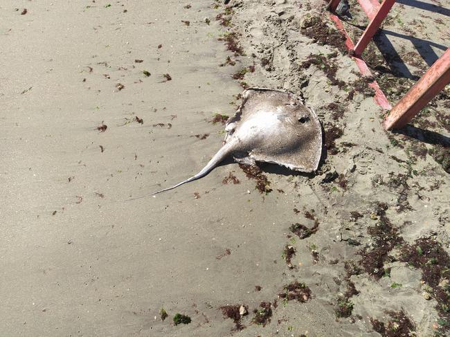 Скат, выброшенный на берег Чёрного моря