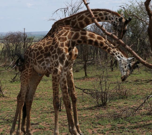 Дерущиеся жирафы