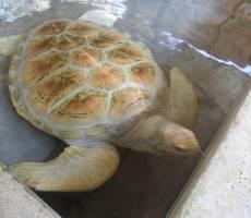 Джексон - черепаха альбинос