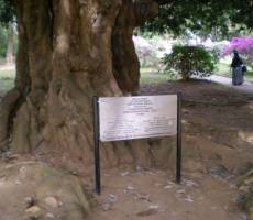 Дерево, посаженное будущим императором Николаем Вторым