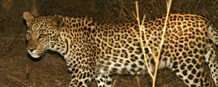 еще детеныш леопарда