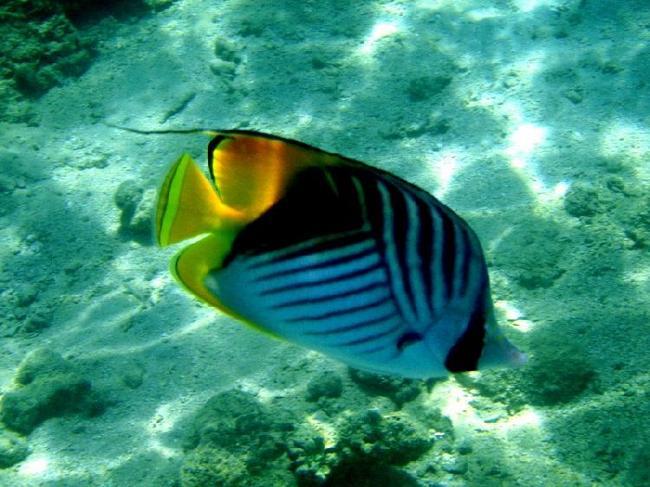 Нитевидно-плачниковая рыба-бабочка