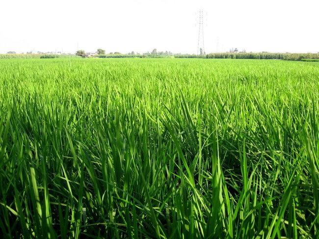 Прошел всего месяц с момента посадки риса