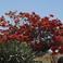 Огненное дерево -Цеелон-Цезальпиния