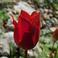 горные тюльпаны