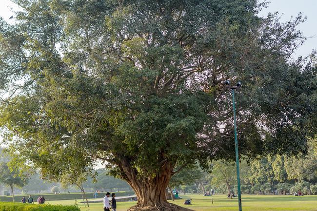 Нью-Дели, гигантское дерево на территории Пурана-Кила.